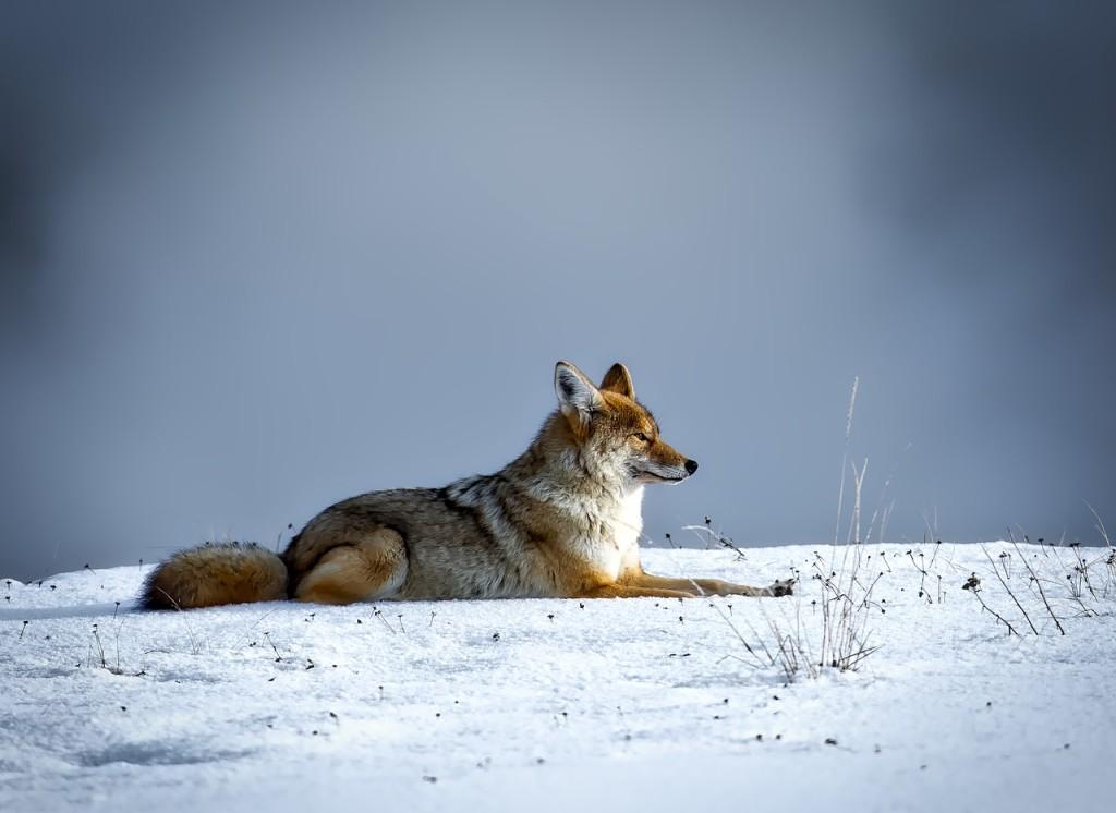 coyote-1730060_1280